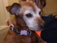 Miniature Pinscher - Princess - Medium - Senior -