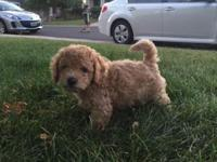 1 male apricot miniature poodle, he's a very nice and