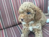 1 male miniature apricot poodle. This pup is very happy
