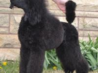 Meet Silo,a handsome moyen sized poodle that is