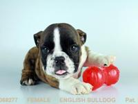 female mini English Bull Dog up to date on all shots,