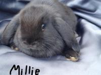Minilop Bunnies Brownie, male, and Misty and Millie,