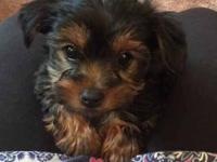 Beautiful Yorkie puppies ready to find good loving