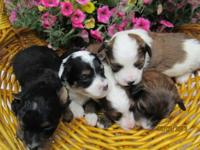 Taking deposits on Miniature Aussidoodles. Will have