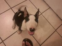 I have a Tri color miniture english Bull Terrier. That