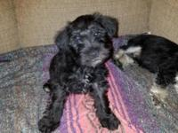 Miniature Schnauzer puppies...1 white female and 1