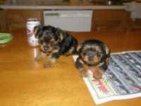 miniture yorkie pups. The mother AKC registered. Her