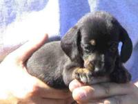 I have a adorable litter of miniuture Dachshund puppies