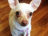 Breed: Chihuahua Mix Age: 2 years Gender: Spayed
