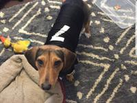 Minnie is 1 year old spayed female Bassett mix. She is