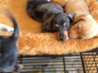 I HAVE WIREHAIR & SMOOTH COATS, MALE & FEMALE, SHOTS,
