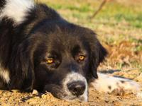 Minnie is a sweet Border Collie / Great Pyrenees mix.