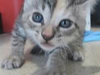 My story Primary Color: Silver Tabby Secondary Color: