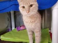 Minxie's story Minxie is a Manx/DSH mix approx 1 year