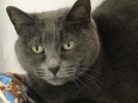 Mirna is a shy, sweet Russian Blue. She likes to sit on