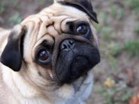 Animal Type: Dogs Breed: Pug NECESITAMOS novio para mi