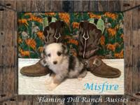 Ranch Raised ASDR Toy / Mini Aussie Puppies. Misfire ~