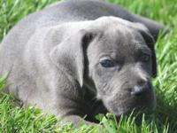 We have an AKC Euro/American color pure blue female