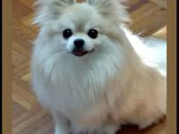 Meet Miso! Miso is an adult, female Pomeranian, under