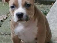 I have a 1 yr old American bully female name Miss