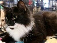 Miss Millie is a sweet young Tuxy lady with medium to