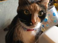 Missi:  Two years old female calico, spayed and current