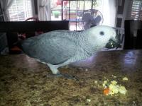 My African Grey parrot has been missing since May 1,