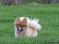 Missing Orange and Cream colored Male Pomeranian. He is