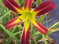 Mississippi Red Bed Beauty (Carpenter 2005). 34? tall,