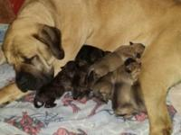 Missys Majestic Mastiffs is proud to announce a litter