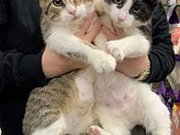 Misty and Rosano the purrrfect duo's story Mitsy (brown