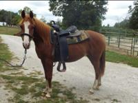 Misty is a 2014, 13.3hh Arabian mare. She has come a