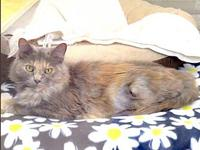Misty's story Pretty Young, Small DMH Dilute Tortie
