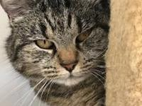 Misty is a beautiful short haired tabby. Before coming