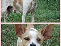 Misty's story Misty is a 3 year old Rat Terrier looking