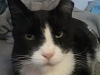 Mittens's story Meet Mittens! She's a 9 year old Tuxedo