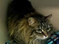 Mitzi is a beautiful maine coon mix who is 3 years of