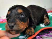 miuyuytrIntaractive Dachshund puppies for sale,for more