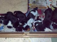 These pups are mixed breed pups. The mother is german
