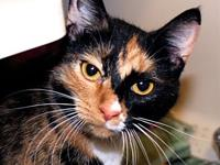 Mix's story Mix is a calico domestic short hair who is