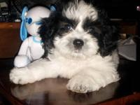 Mix maltipoo and shin tzu terrier black white cute eyes