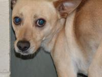 Mizzou (#353871) is a 1 year old Chihuahua/Terrier mix