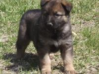 MK0206 Female...This girl is a beautiful Sable! I