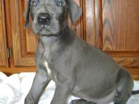 Mnbgfvc Great Dane puppies for sale.........Text ( 4 5