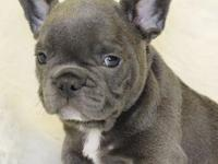 MNHBGFV BLUE FRENCH BULLDOG PUPPIES FOR SALE....Text (