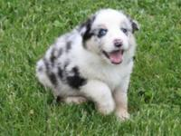 MNHGB Australian Shepherd puppies for sale....Text ( 5