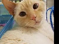 Mo's story Mo is a gorgeous flame point siamese boy.