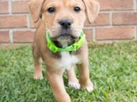 Terrier/Beagle mix puppies, utd on vaccines. Will be