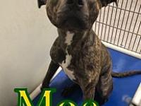 My story Moe is a 1-2 yr old pit bull. He comes when