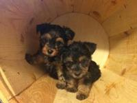 Morkies Black and Tan,cute adorable fluff balls looking